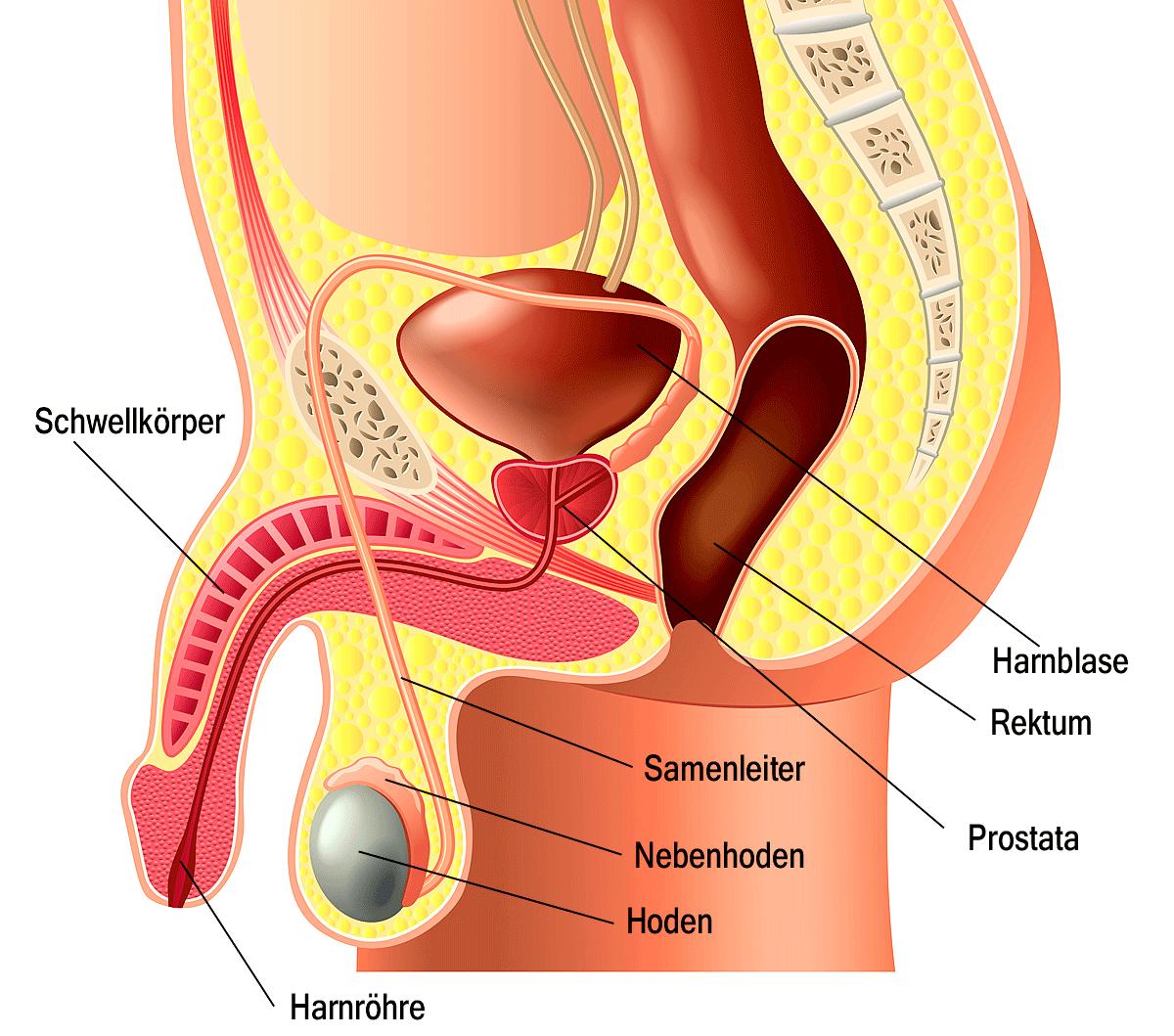 Ist die penislänge wichtig